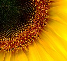 Sunflower by bmarius19