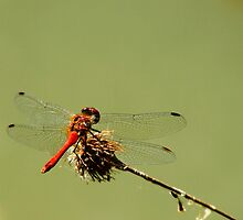 Dragonfly by bmarius19