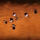 Arty Lapwings by Neil Bygrave (NATURELENS)