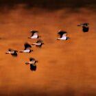 Arty Lapwings by Neil Bygrave (NATURELENS)