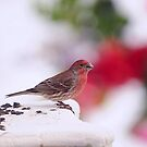 RED HOUSE FINCH  ON SNOW DAY... by RoseMarie747