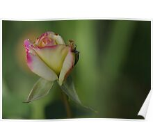 Delicate Rose bud Poster