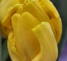 Yellow Tulips by Keala