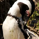 African Penguin by Jennifer Sumpton