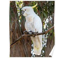 Sulphur-Crested Australian Cockatoo Poster