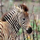 NEW TO THE WORLD - BABY ZEBRA -  BURCHELL'S ZEBRA – Equus burchelli – Bontkwagga by Magriet Meintjes