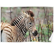 NEW TO THE WORLD - BABY ZEBRA -  BURCHELL'S ZEBRA – Equus burchelli – Bontkwagga Poster