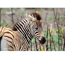 NEW TO THE WORLD - BABY ZEBRA -  BURCHELL'S ZEBRA – Equus burchelli – Bontkwagga Photographic Print