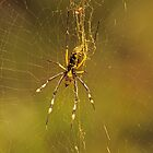 Golden Orb Spider by JenniferEllen