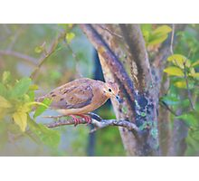 Sweet and gentle dove Photographic Print