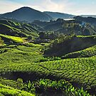 Sungai Palas Tea Plantation in the Morning Light by S T
