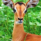 IMPALA BABY, EYES AND EARS! - BLACK-FACED IMPALA _Aepyceros melampus petersi by Magaret Meintjes
