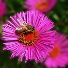 Pink Aster by Evelyn Laeschke