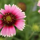 Pink Indian Blanket by Carol Bailey White