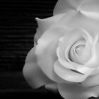 White Rose by homendn
