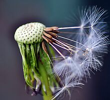Dandelion by Care Johnson