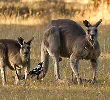 Two kangaroo's and a magpie by Matthew Burniston