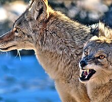 Coyote Buddies (HDR) by Gary Cascio
