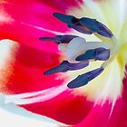 Tulip Anthers by DIANE  FIFIELD