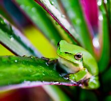 Australian Tropical Frog 5 by GiulioCatena