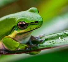 Australian Tropical Frog 1 by GiulioCatena