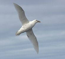 Southern Giant Petrel (White Morph) ~ On the Breeze by Robert Elliott