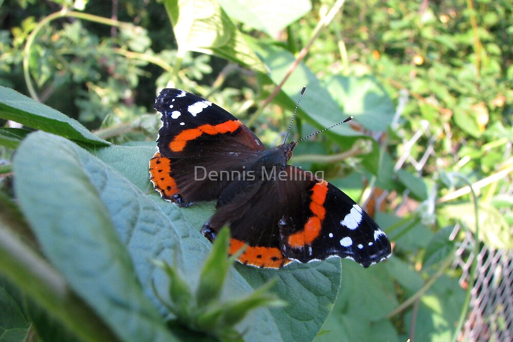 The Red Admiral Butterfly (Vanessa atalanta) by Dennis Melling