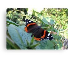 The Red Admiral Butterfly (Vanessa atalanta) Canvas Print