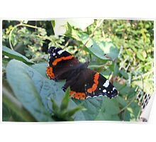 The Red Admiral Butterfly (Vanessa atalanta) Poster
