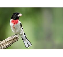 Looking Back - Male Rose-breasted Grosbeak (Spring visitor to area) Photographic Print