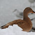 Duck in Snow by Jonathan Cox