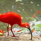 Redfeather by Arie Koene