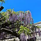 Wisteria by DeeZ (D L Honeycutt)