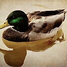 Drifting Mallard by PineSinger