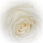 white soft rose by Nicole W.
