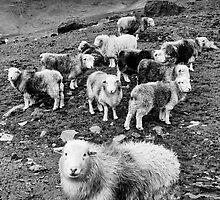Sheep by Mark Hooper