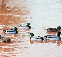 Ducks without direction by missmoneypenny