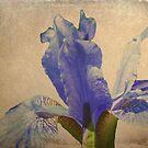 Antique Iris by shalisa