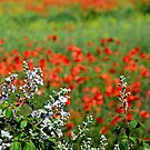 Blackberry blossom and Poppies. by Billlee