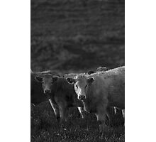 Bovine III Photographic Print