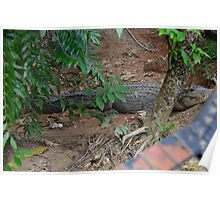 Crocodile resting after lay eggs Poster