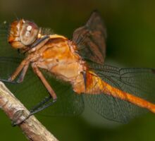 Fiery Skimmer Dragonfly - Orthetrum villosovittatum Sticker
