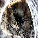 Bird Eating spider -  Ifaty - SE Madagascar by john  Lenagan