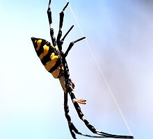 Spectacular  Orb weave spider ( unidentified )  -  Isalo NP -  Madagascar by john  Lenagan