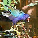 Purple Gallinule by jozi1