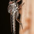 Robber Fly - Ommatius sp. by Andrew Trevor-Jones