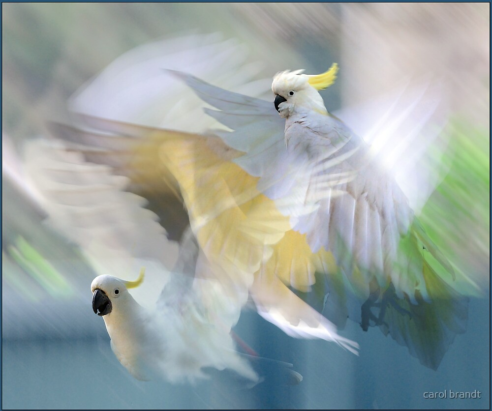 sulphur-crested cockatoos in flight by carol brandt
