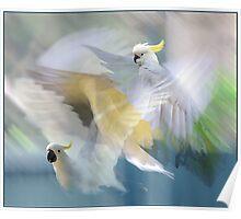 sulphur-crested cockatoos in flight Poster