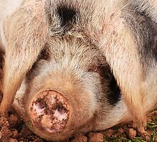 Pig tired! by Dave  Knowles