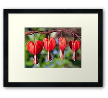 Row of Red Bleeding Hearts Framed Print